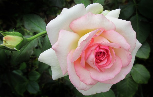 Picture rose, petals, buds, flower, pink, roses