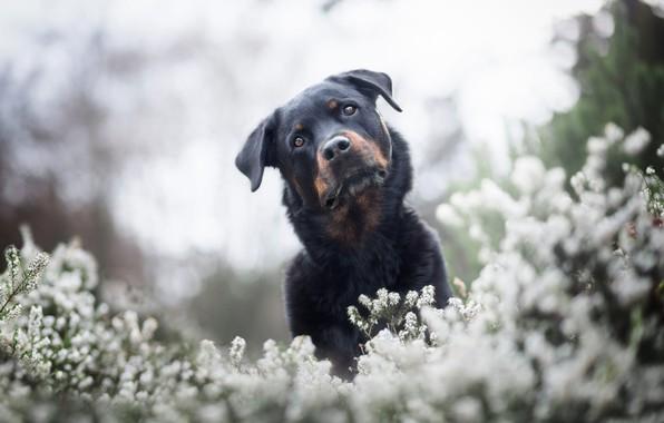 Picture summer, look, face, light, flowers, nature, pose, Park, background, glade, portrait, dog, spring, black, white, …