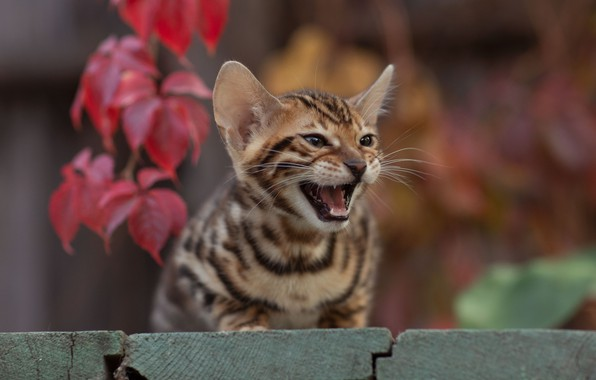 Picture cat, kitty, bokeh, cat, pisklya, Yuriy Korotun