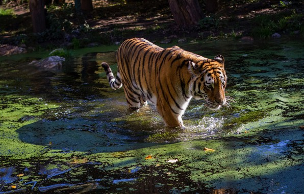 Picture face, water, light, nature, tiger, pose, pond, shore, bathing, pond, view, duckweed, overgrown