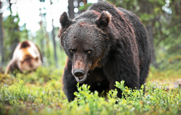 Picture grass, look, nature, animal, predator, bear, brown, Alexander Perov