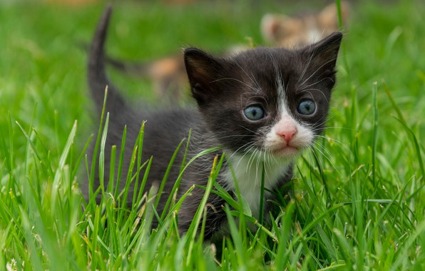 Picture grass, look, baby, muzzle, kitty