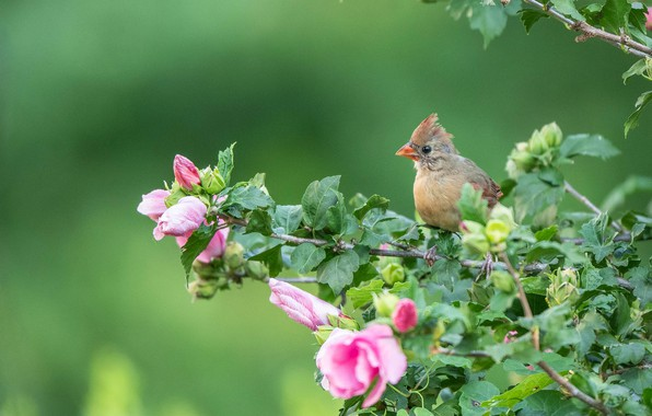 Picture branches, background, bird, chick, flowers, hibiscus, Cardinal