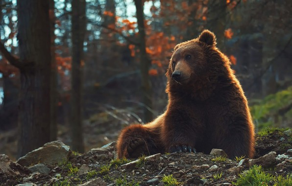 Picture forest, pose, bear, bear, sitting, brown, Mikhaylo Potapych