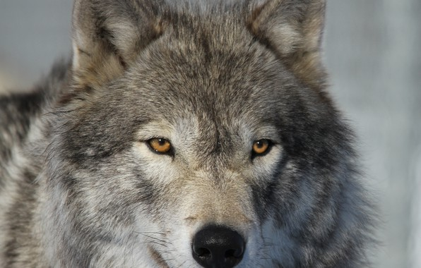 Picture look, face, close-up, wolf