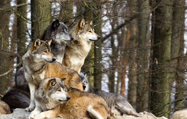 Picture forest, photo, pack, wolves