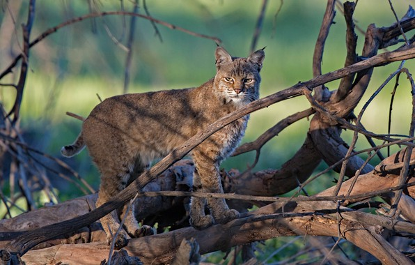 Picture look, branches, lynx, wild cat