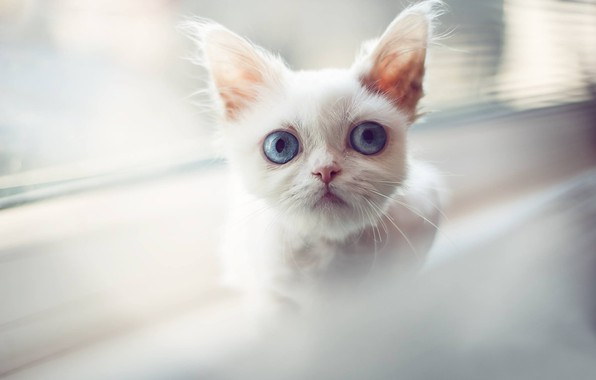 Picture white, look, muzzle, kitty, blue eyes, cat