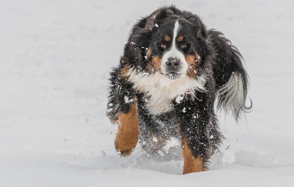 Picture winter, snow, handsome, Bernese Mountain Dog