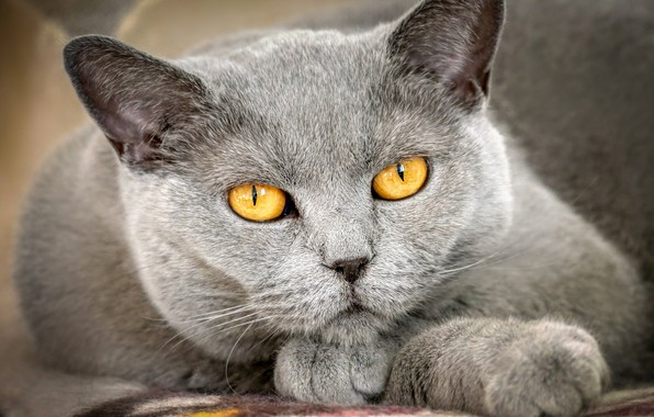 Picture cat, eyes, cat, look, face, close-up, grey, background, portrait, paws, lies, British, smoky, yellow eyes