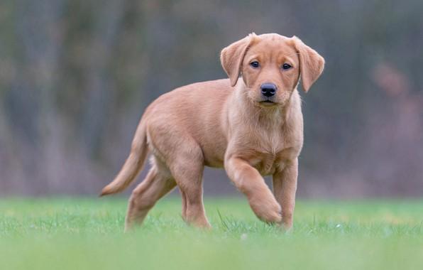 Picture grass, background, dog, puppy, Labrador Retriever