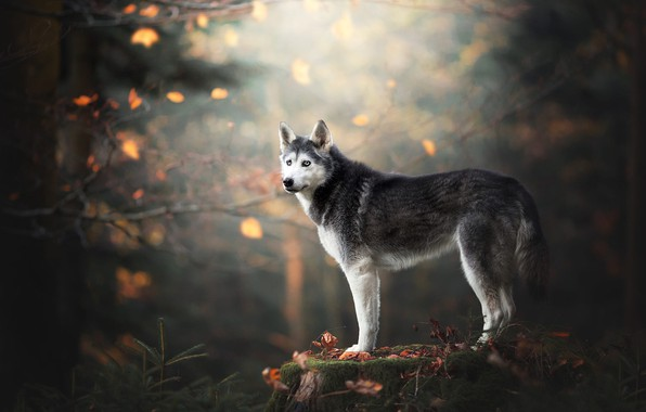 Picture autumn, forest, look, leaves, branches, nature, pose, Park, background, moss, stump, dog, is, blue eyes, …