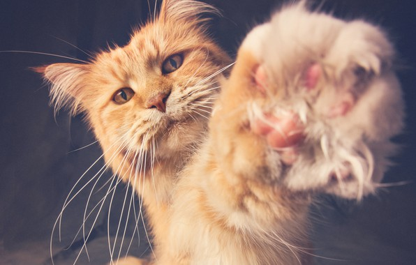 Picture paw, red cat, cat