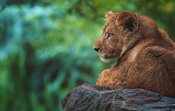 Picture look, face, green, background, stone, portrait, Leo, lies, profile, lion, zoo, lion, bokeh, teen
