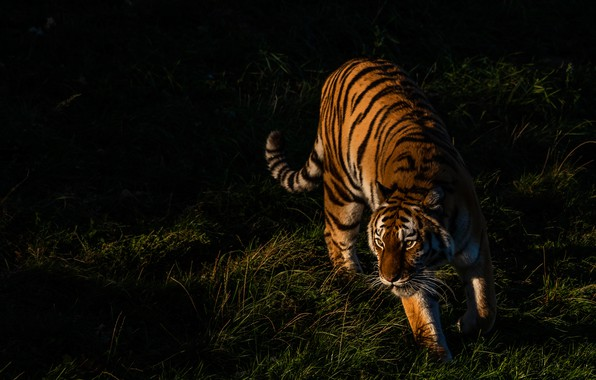 Picture grass, light, tiger, pose, the dark background, walk