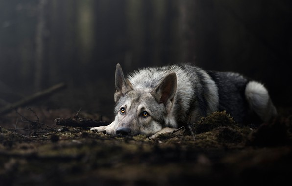 Picture forest, look, nature, pose, the dark background, wolf, moss, dog, lies, grey, wolf, wolf dog …