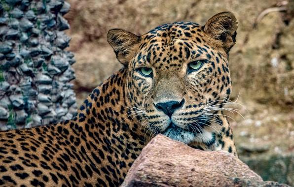Picture face, stones, background, portrait, predator, leopard, bokeh