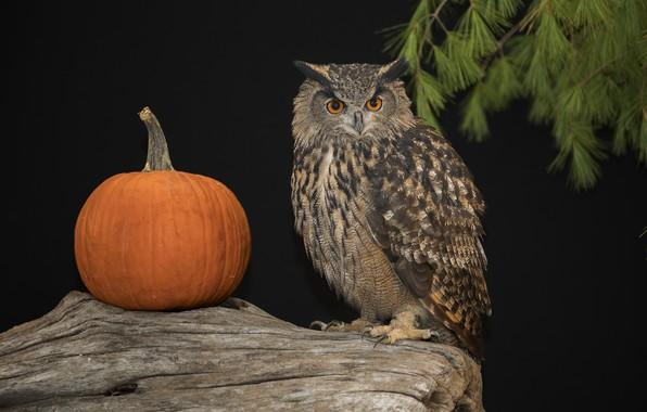 Picture look, owl, pumpkin