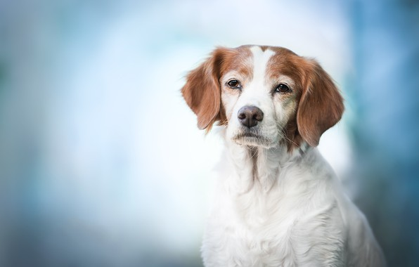 Picture look, face, background, portrait, dog, The Brittany, Spaniel Breton