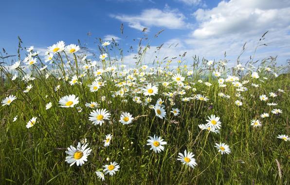 Picture grass, chamomile, cloud.