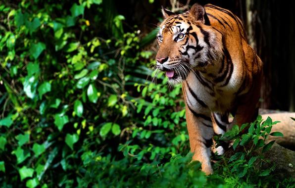 Picture branches, nature, tiger, animal, foliage, predator
