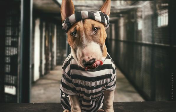 Picture face, dog, prison, Bull Terrier, prisoner