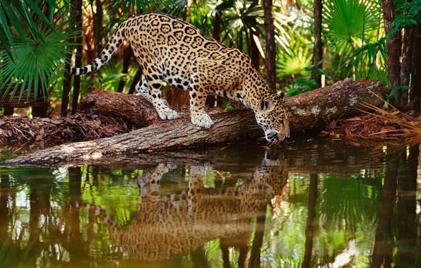 Picture jungle, jaguar, water, wildlife