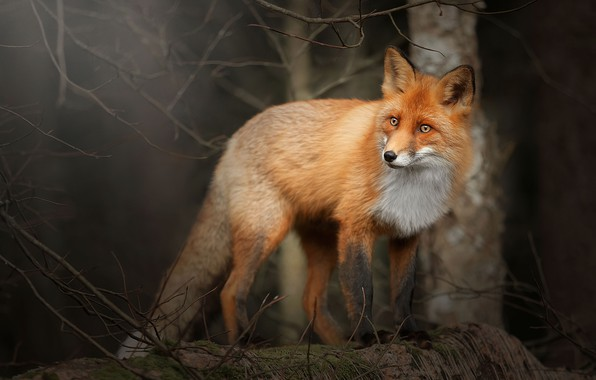 Picture forest, branches, Fox, Fox
