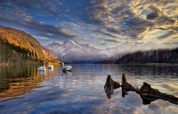 Picture landscape, mountains, birds, nature, lake, shore, Austria, swans, forest, Almsee, Else