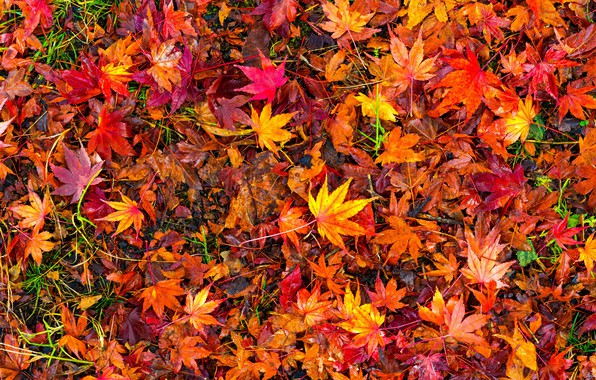 Picture autumn, leaves, background, colorful, red, maple, background, autumn, leaves, autumn, maple