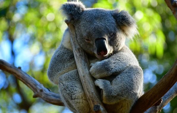 Picture leaves, branches, pose, tree, sleep, sleeping, Koala, closed eyes