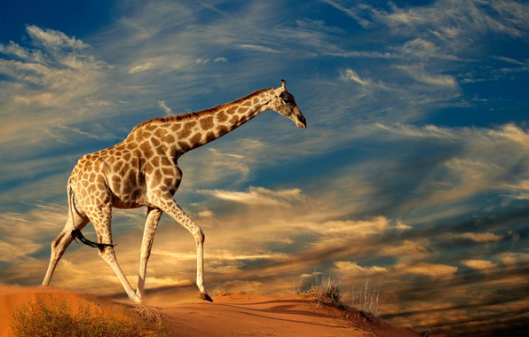 Picture sand, the sky, grass, the sun, clouds, nature, giraffe