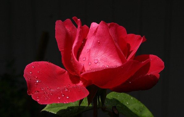 Picture flower, drops, droplets, Rosa, lights, background, rose, petals, Bud, red, scarlet