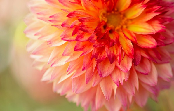 Picture macro, petals, Dahlia