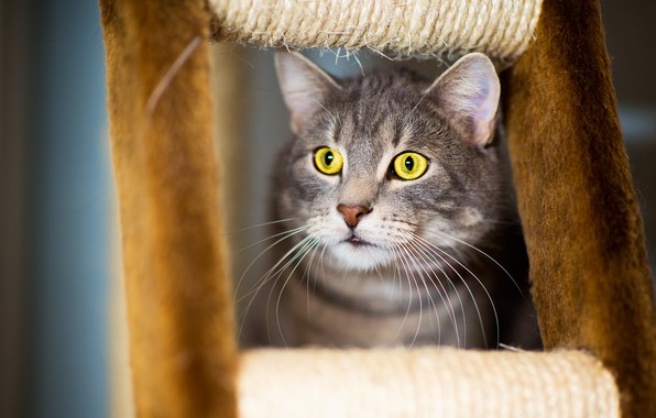 Picture cat, cat, mustache, look, face, grey, background, portrait, striped, handsome, yellow eyes, scratching post