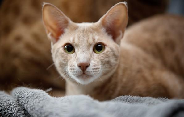 Picture cat, look, portrait, muzzle, Ocicat