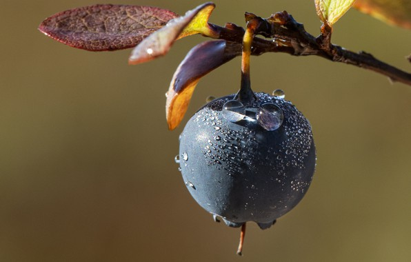 Picture branch, berry, leaves, blueberries, droplets of water