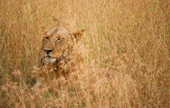 Picture grass, nature, lion, predator, scars, hide