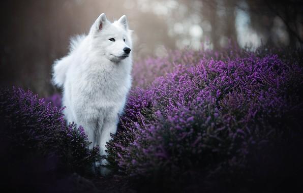 Picture dog, Heather, Samoyed