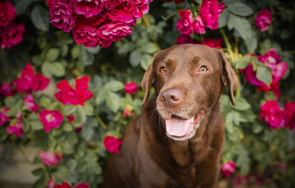Picture flowers, roses, dog, rose Bush