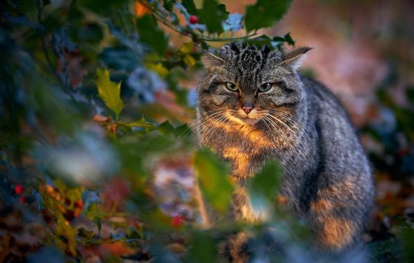 Picture look, leaves, wild cat, wildcat