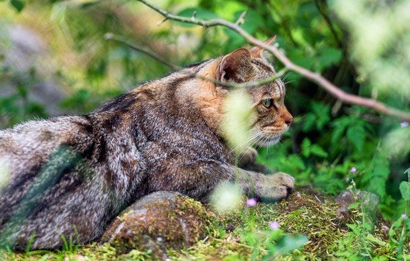 Picture greens, cat, summer, cat, look, face, branches, nature, pose, lies, profile, striped, wild, forest, European