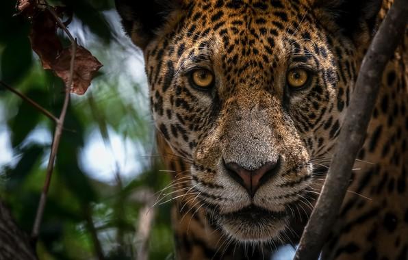 Picture look, face, Jaguar, wild cat