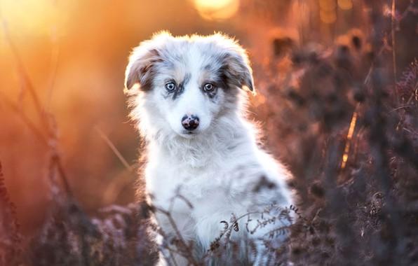 Picture autumn, look, leaves, light, nature, portrait, dog, plants, baby, puppy, face, bokeh, Australian shepherd, Aussie