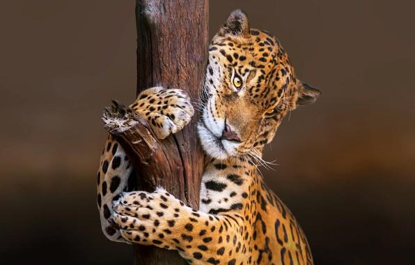 Picture nature, animal, predator, Jaguar, trunk