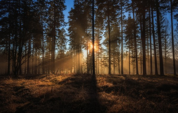 Picture forest, trees, Sweden, sunlight