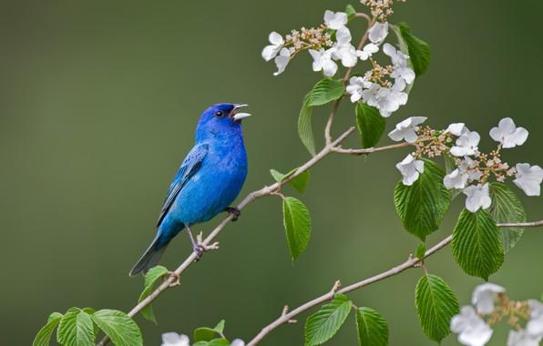 Picture leaves, branches, background, bird, flowering, flowers, Indigo sancopy cardinal, Hortensia