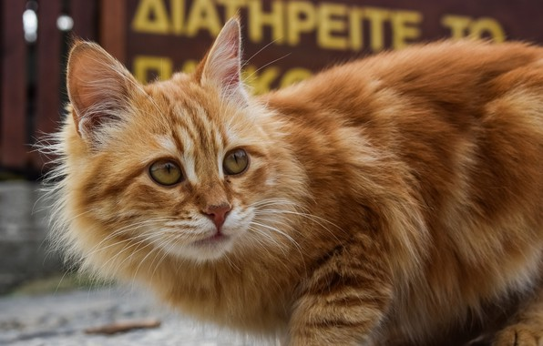 Picture cat, background, fluffy, red, bokeh