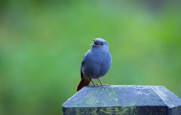 Picture bird, column, PPE Redstart, pichuga