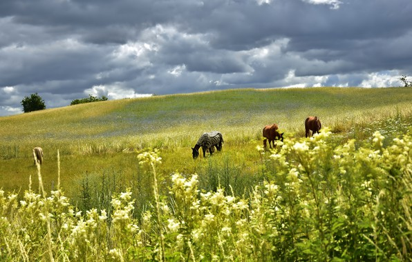 Picture field, summer, the sky, grass, landscape, flowers, clouds, nature, horses, horse, pasture, hill, meadow, space, …
